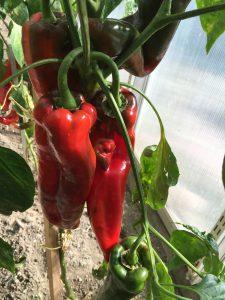 Köstliche Paprika